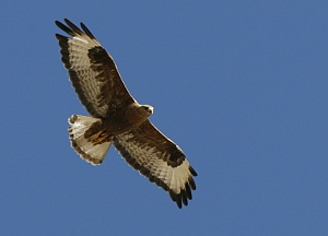Buzzard, out hunting.