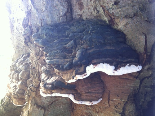 Bracket fungi on the beech.