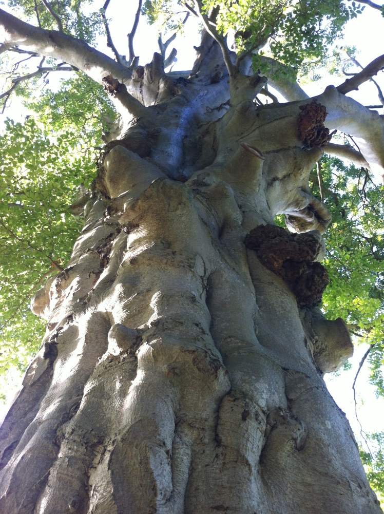 The strong muscular bole of the Great Beech.