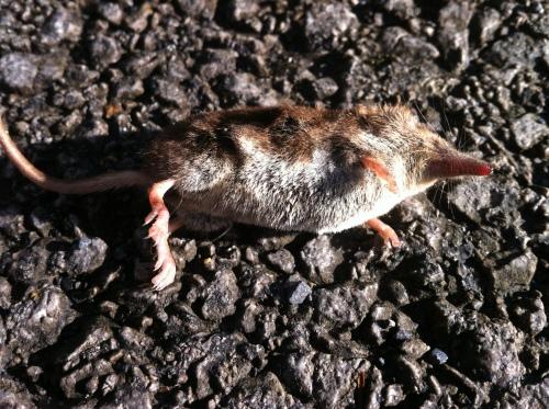Dead shrew.