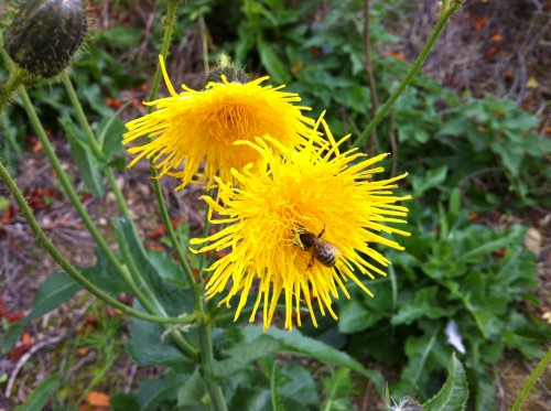 Sow-thistle.