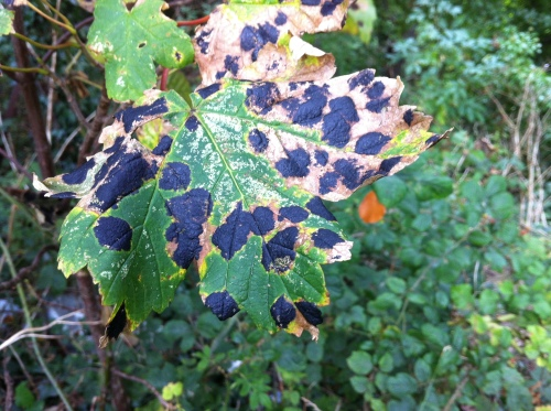 Tar-spot fungus on Sycamore leaf.