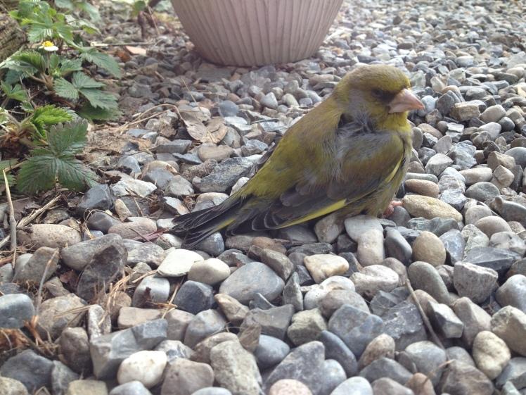 greenfinch.JPG