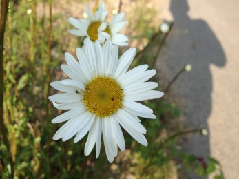 Ox-eye daisy; seems early this year