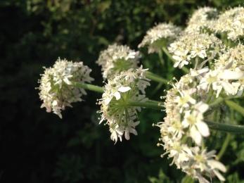 Hogweed flowering