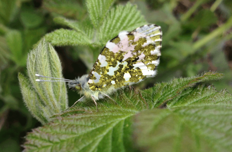 orange-tip.png