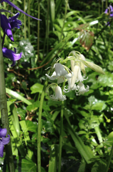 Bluebells are sometimes white.
