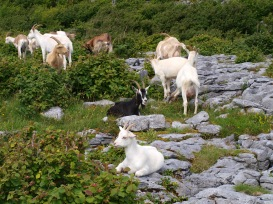 Goats at Lough Avalla.