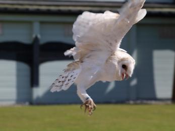 A Barn Owl at Ailwee.