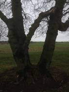 A strange tree that has joined with itself.
