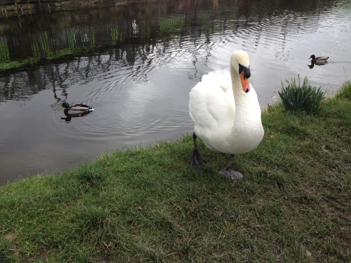 This is as close as I dare get to a feisty Mute Swan