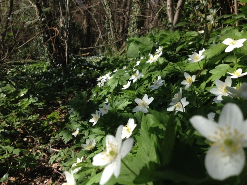 More Wood Anemones