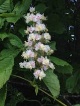 Horse Chestnut 'candle'