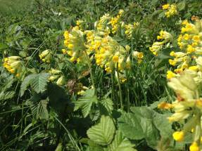 More Cowslips