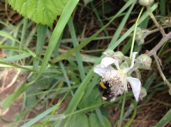 Bee on bramble flower