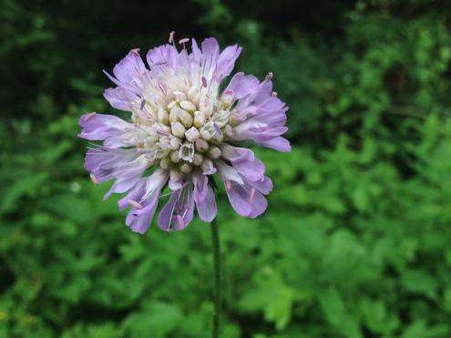 Field Scabious; probably my favourite wild flower.