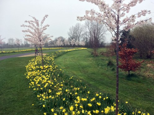 Daffs and cherry blossom