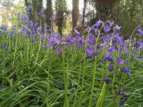 Bluebells, Carton House