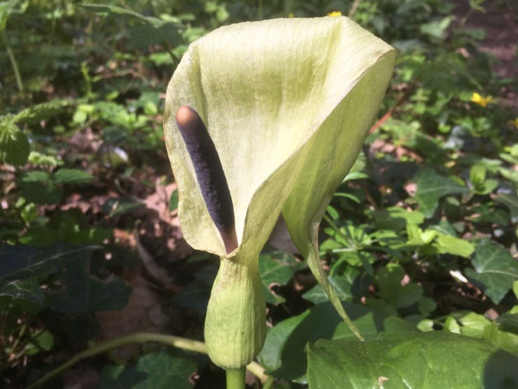 Cuckoo Pint (Wild Arum)