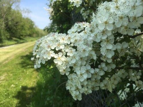 Hawthorn blossom at Slyguff