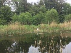 A nesting swan